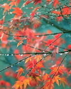 Japanese Red Maple Tree wallpaper 1