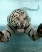 Swimming White Tiger wallpaper 1