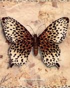 Cheetah Butterfly