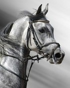dapple-grey-horse-arab.jpg
