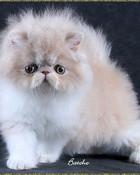 Bi-Color-Persian-Kitten-50.jpg