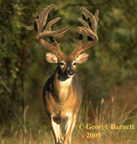Free Whitetail Buck phone wallpaper by jarrett876