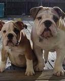 Free English-Bulldog-Puppies.jpg phone wallpaper by tubbow