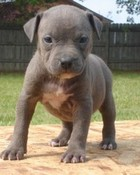 pitbull%20puppies%20for%20sale%207.jpg