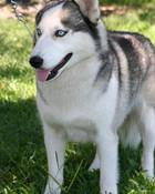 Siberian-Husky300x450.jpg