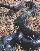 snake-w.jpg