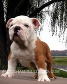 index.Romeo2 english bulldog puppy.jpg wallpaper 1