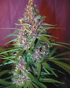 Purple Kush 2.jpg