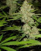 hydro weed.jpg wallpaper 1