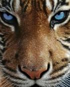 8_Tiger-Stare-85975.jpg