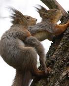 squirrels_going_at_it[1].jpg wallpaper 1