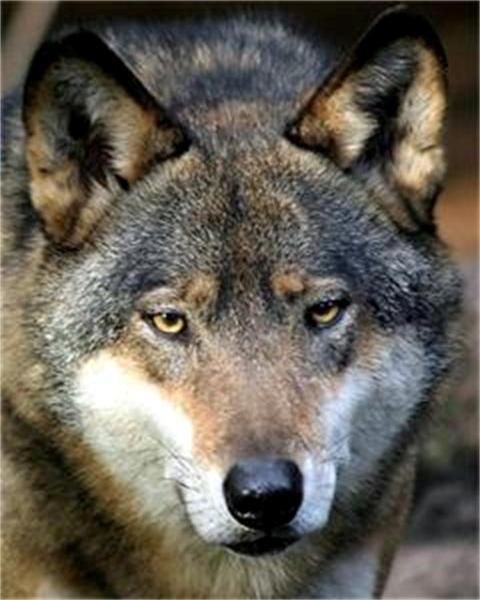 Free wolf stalking phone wallpaper by dan_2
