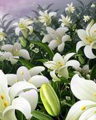 Lily_plants.jpg