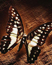 Free Windows_7_Fluttering_butterfly.jpg phone wallpaper by pinkrose2