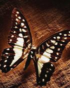 Windows_7_Fluttering_butterfly.jpg wallpaper 1