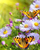 stock-photo-two-butterfly-on-flowers-27614965.jpg