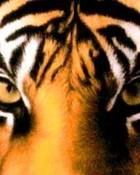 lsu-tiger-eyes.jpg
