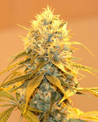 Cali Gold WEED