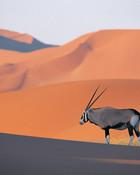 Oryx Antelope.jpg