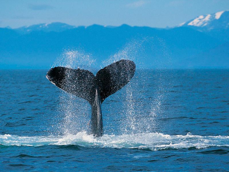 Free Whale Tail phone wallpaper by lilgreendude