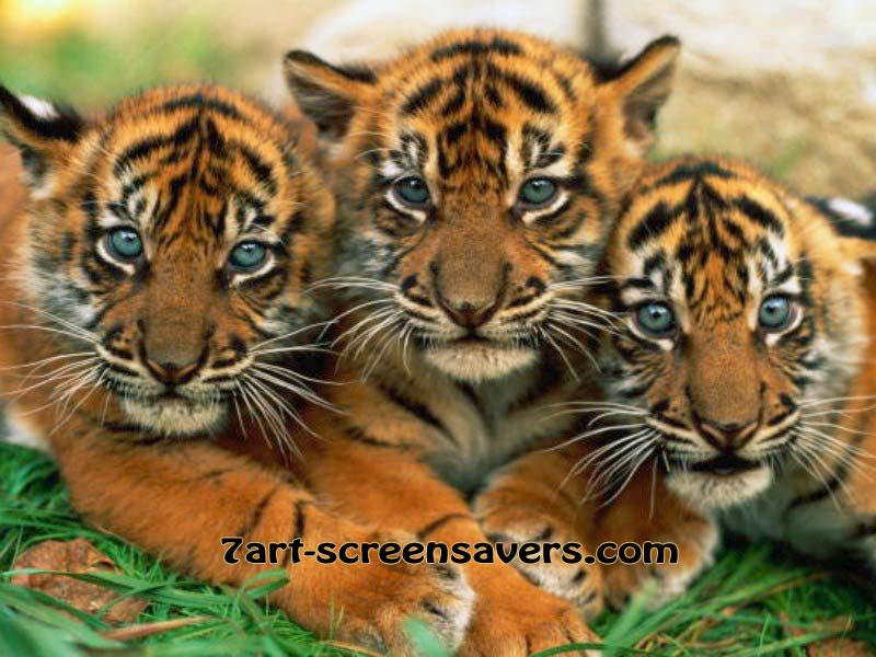 Free lovely-tiger-cubs.jpg phone wallpaper by leblanc7