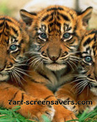 lovely-tiger-cubs.jpg