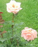 Free Pink Roses phone wallpaper by butterflygeek
