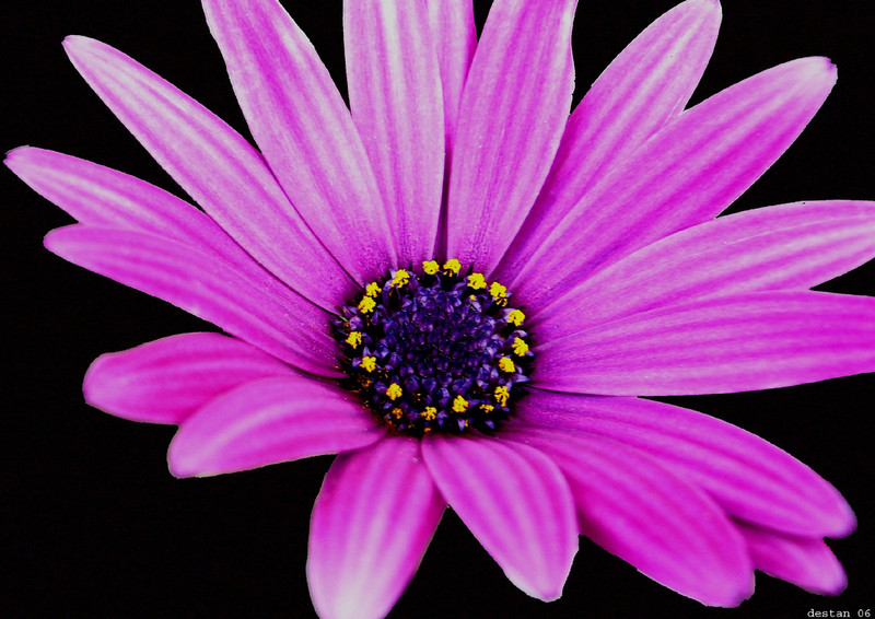 Free purple daisy phone wallpaper by brandiwig84