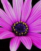 purple daisy wallpaper 1