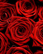 doezn roses