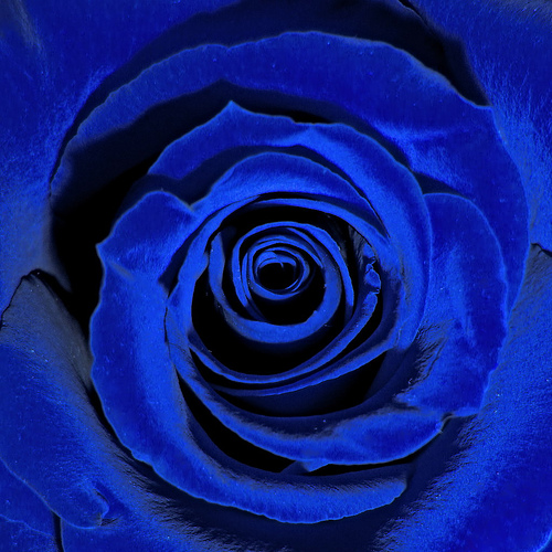 Free blue rose close up phone wallpaper by brandiwig84