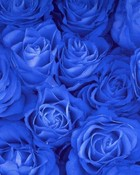 Blue roses close up