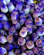 blue&purple roses