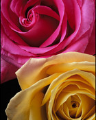 PinkandYellow Rose