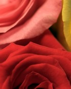pink,red,yellow roses wallpaper 1