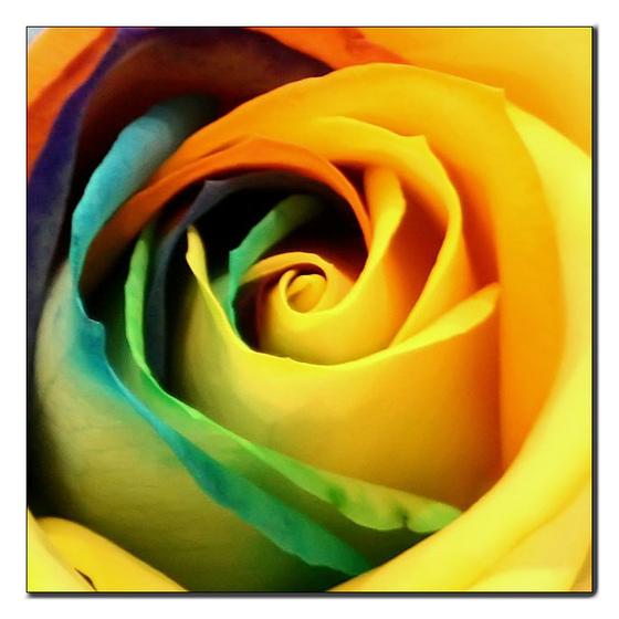 Free rainbow rose1 phone wallpaper by brandiwig84