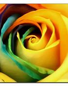 rainbow rose1