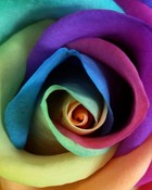 rainbow rose2