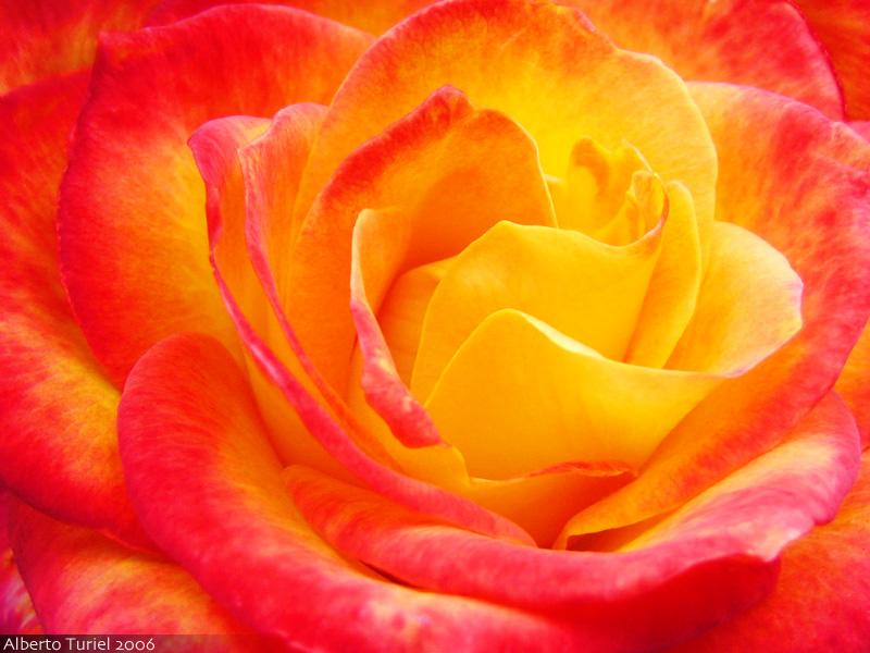 Free red&orange rose  phone wallpaper by brandiwig84