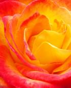 red&orange rose