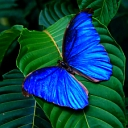 Free Blue Butterfly phone wallpaper by iamlal2