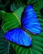 Blue Butterfly wallpaper 1