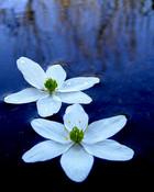 aquadic flowers.jpg