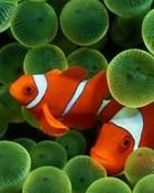 Clown Fish wallpaper 1