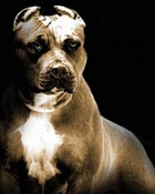 great pitbull pic.jpg