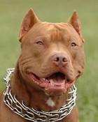 pit bull2.jpg