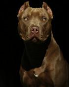 pit bull3.jpg