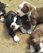 pit bull puppies.jpg