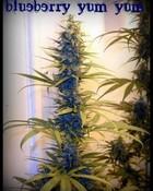 blueberry yumyum.jpg