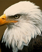 bald-eagle-head.jpg